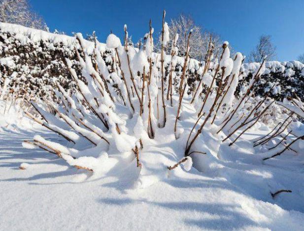 Снег защищает растения от обморожения
